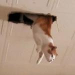 【ズズ・・】天井の穴から猫さんが生える画像に衝撃「妖怪か忍者かスパイか念能力者w」とTwitterで話題